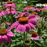 Cone Flower 'Pink Pearl' (Echinacea)