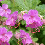 1431510088geranium_ingwersen__s_variety_flickr_part