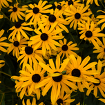 Orange Coneflower Goldsturm - Rudbeckia Fulgida (Six-pack)