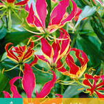 Flame lily - Gloriosa Rothschildiana