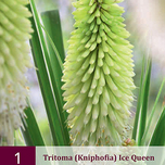 Kniphofia Ice Queen