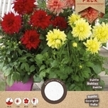 Dahlia Border Mix