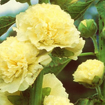 Hollyhock 'Yellow' (Alcea Rosea)
