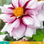Dahlia Mignon Edge of Joy