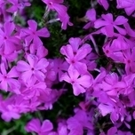 Creeping Phlox Subulata 'Purple Beauty' Six-pack