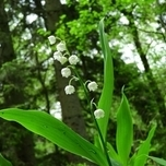 Convallaria White- Lily of the Valley (Six-pack)