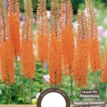 Eremurus 'Cleopatra' - Foxtail Lily
