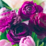Ranunculus Purple - Double Purple Buttercup