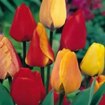 Tulips Darwin Mix (XL)
