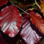 Fagus Sylvatica Red - Common / Copper Beech hedge