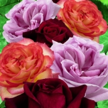 Collection Roses Perfumed – Rosa