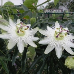 Passiflora Avalanche (Passion Flower)