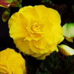 Begonia F1 Superba Yellow