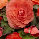 Begonia Double Salmon
