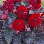 Begonia Switzerland - Dark-leaved Begonia