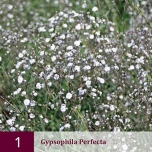 Gypsophila Perfecta - Baby's-Breath