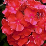 Phlox Paniculata Orange Perfection (Three-pack)