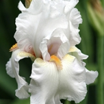 Iris Germanica Immortality - Bearded Iris (Three-pack)