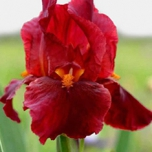 Iris Germanica Red Zinger - Bearded Iris (Six-pack)