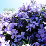 Phlox Emerald Cushion Blue - Creeping Phlox (Three-pack)