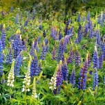 Lupinus Gallery Blue – Lupin