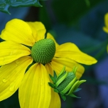 Coneflower Herbstsonne - Rudbeckia Nitida (Three-pack)