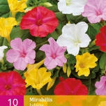 Mirabilis Jalapa Mix – Four o'clock flower