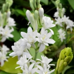 Polianthes Tuberosa The Pearl - Tuberose