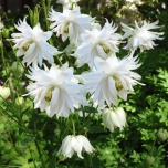 Columbine - Aquilegia Green Apples -