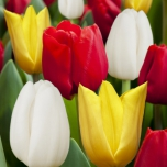 Tulip mix Red, Yellow & White –  20 bulbs