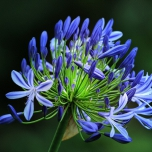 Agapanthus Blue (Large Pack)