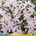 Chionodoxa Pink Giant - Glory-of-the-snow