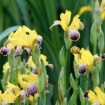 Iris Germanica Nibelungen Tuincentrum Koeman