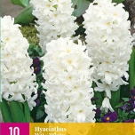 Hyacinth White (Large Pack)