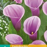 Calla Purple