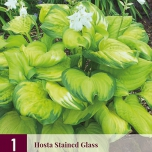 Hosta Stained Glass