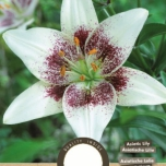 Lilium Asiatic White Pixels