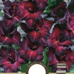 Gladiolus Black Star