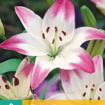 Lilium Asiatic Lollypop