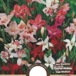 Gladiolus Colvillii Mixed – Sword Lily