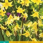 Erythronium Pagoda - Dog's-tooth