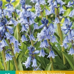 Hyacinthoides Hispanica Blue – Spanish Bluebells