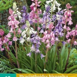 Hyacinthoides Hispanica Mix – Spanish Bluebells