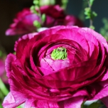 Ranunculus Purple