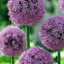 Allium Bulb
