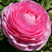 Ranunculus Pink - Double Pink Buttercup