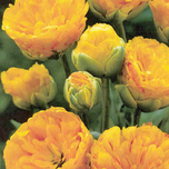 Tulips Yellow Pompenette